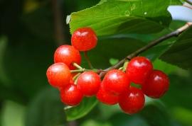 【米易】小樱桃 3斤 那酸酸甜甜的口感让人欲罢不能啊!
