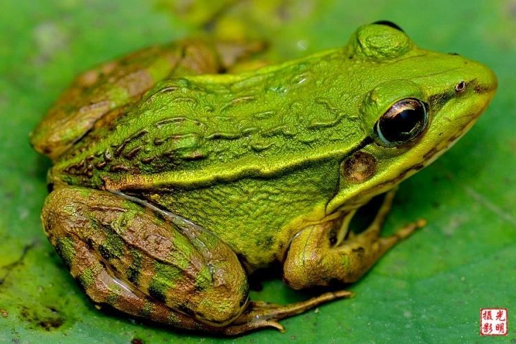看见青蛙在荷叶上午睡